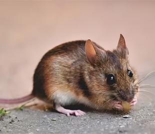 """""""黑死病""""再次来袭?病死率高达30%的鼠疫该如何预防"""